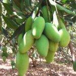 Daseri Mango Plant